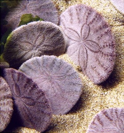 Live Sand Dollars. Most people probably don't realize that sand dollars are not those bone-colored shells that we are all used to seeing. They are a type of sea urchin that's fuzzy, and in the case of these, with a slight purple tint. They sit at all angles on the bottom of the ocean. What we normally see is the outer shell after the fuzz has died off and left nothing but the skeleton.