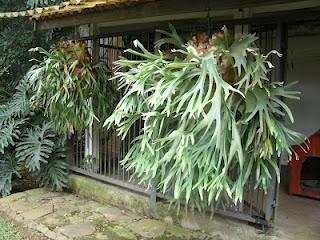 A planta conhecida popularmente como chifre de viado no Brasil recebeu este nome por ter suas folhas semelhantes aos chifres de um veado, ela é também conhecida como Platycerium bifurcatum ou samambaia chifre de veado.