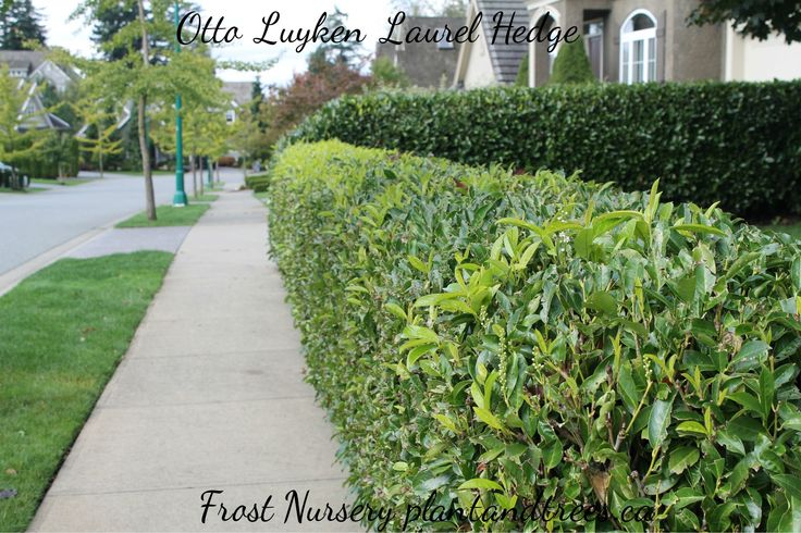 Otto Luyken Laurel English laurel with smaller glossy evergreen leaves. Can grow up to 8' high Plant nursery Vancouver Frost Nursery