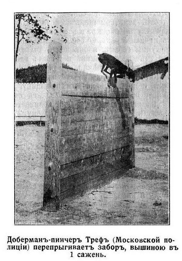 Первый российский собачий питомник, предназначенный для животных, которые будут нести службу в полиции, открылся более 100 лет назад, 21 июня 1909 года в городе Санкт-Петербурге