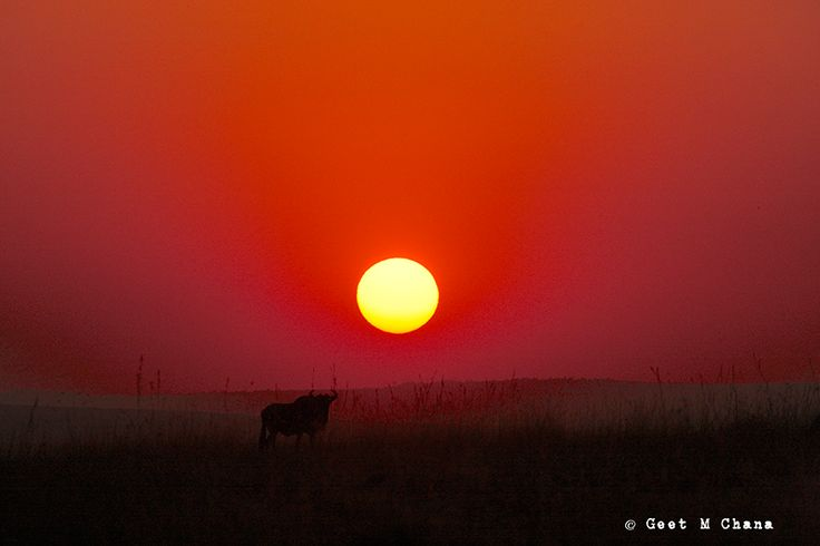 Sunset in the Maasai Mara. Silhouette of a Wildebeest.