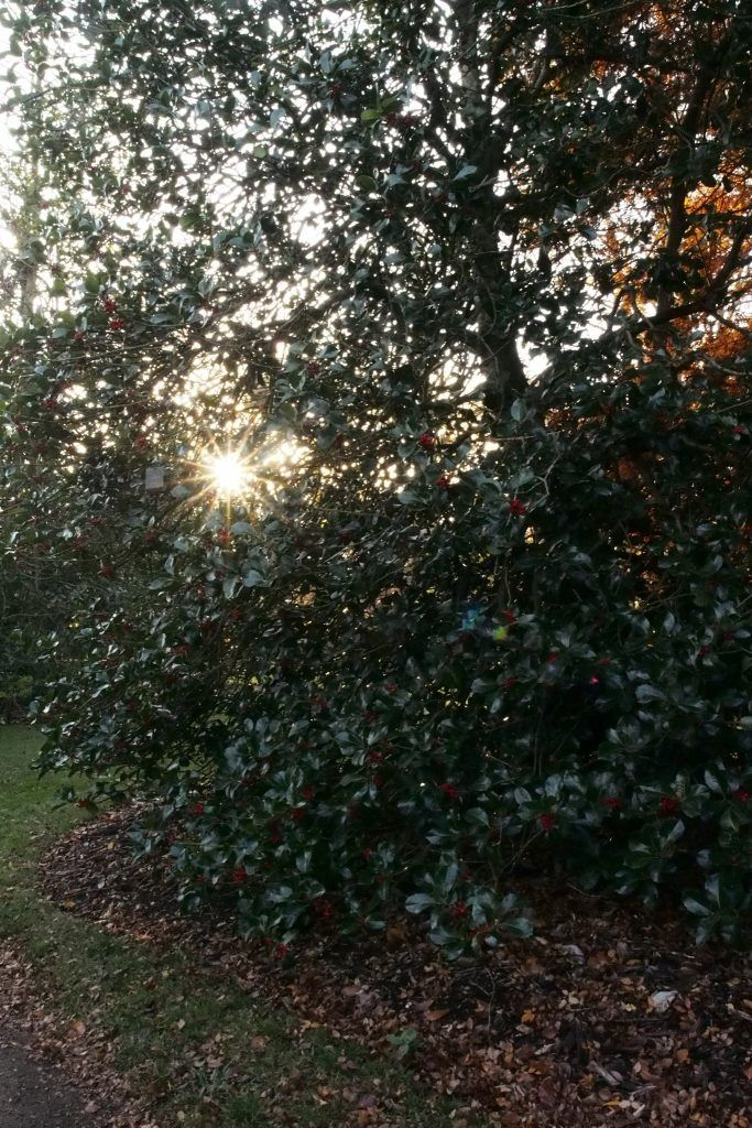 The Royal Botanic Gardens at Kew, is a great garden to visit to see lots of different varieties of holly.