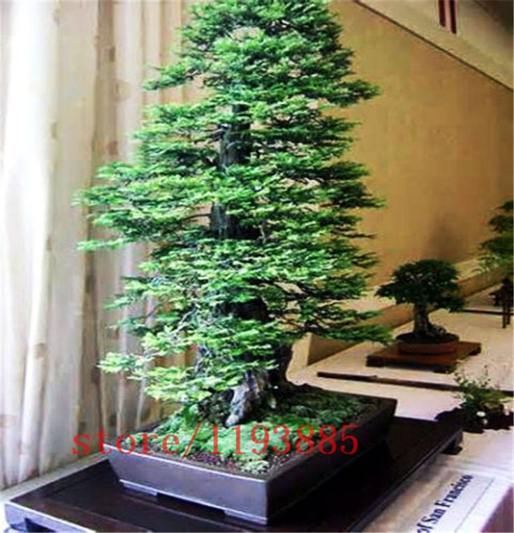 100pcs/bag Coast Redwood Seeds Sequoia sempervirens Bonsai TALLEST in the WORLD! tree seeds,Decoration plants for home garden
