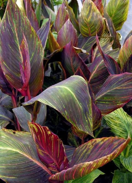 Canna 'Durban'....The canna, sometimes called a canna lily (although it is not related to the lily), is a tropical plant with foliage as gorgeous as its flowers. In nature, canna grows in bogs and ponds. Durban is a canna cultivar that will grow to 7 feet tall and bloom in spikes of fiery red flowers. Durban's foliage, in true canna fashion, is striking, with thin white stripes that turn orange as the plant ages. Canna Durban is hardy to USDA zones 8 through 11.