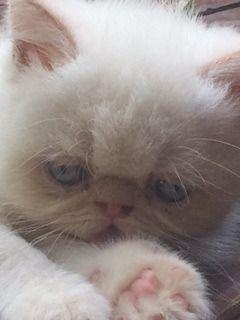 gato persa exotico (garfield), c/pedigree padres campeones