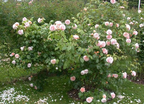 enchanting rose sweet juliet die zauberhafte welt der. Black Bedroom Furniture Sets. Home Design Ideas