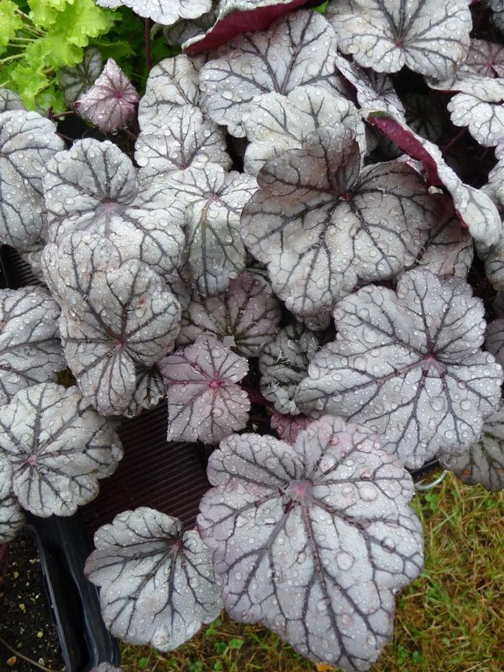 Plante vivace feuillage d coratif argent heuch re for Entretien plantes vivaces