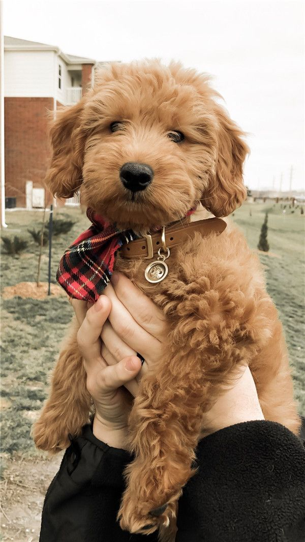 Cute Goldendoodle Puppies Goldendoodles Are The Ultimate Combination Of Good Looks Smart Wits In 2020 Goldendoodle Puppy Mini Goldendoodle Puppies Red Goldendoodle