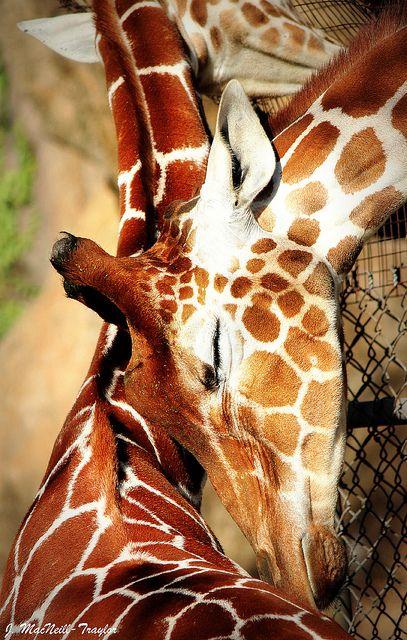 Giraffe love. Can I please just have a pet giraffe?