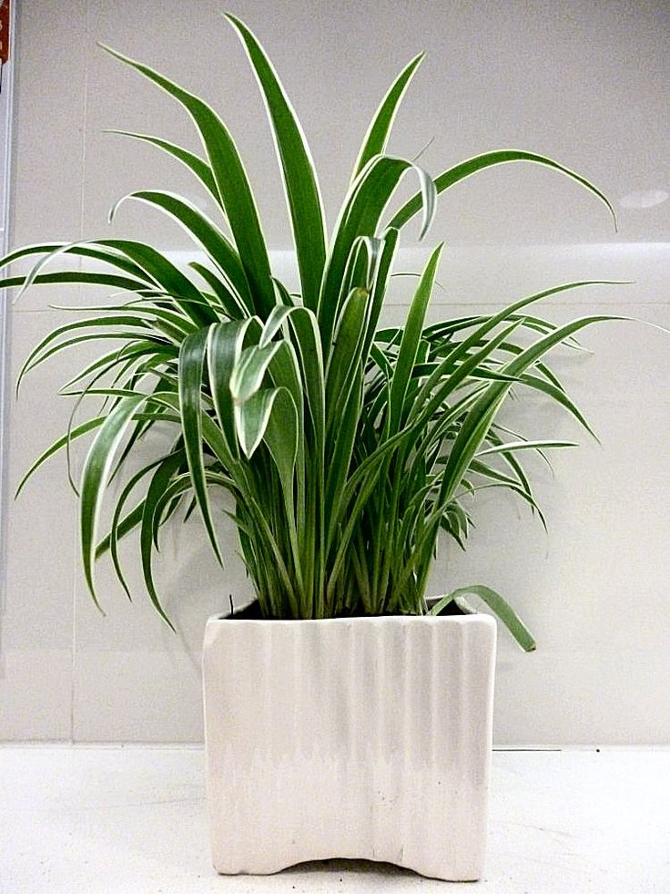 25 best images about kitty safe plants on pinterest for for Are spider plants poisonous to cats