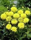 ГЕОРГИНА Melody Latin  Низкорослые георгины – могут иметь разное строение соцветий и относиться к разным группам георгин (бордюрные георгины, балконные георгины, галлери георгины, топмикс георгины и т.д.) . Но у них есть одно общее свойство – необычайная популярность в последнее время. Низкорослые георгины - небольшие растения, сплошь покрытые соцветиями, отлично служат передним краем бордюра, а также в качестве контейнерных посадок для украшения террас, балконов и веранд.