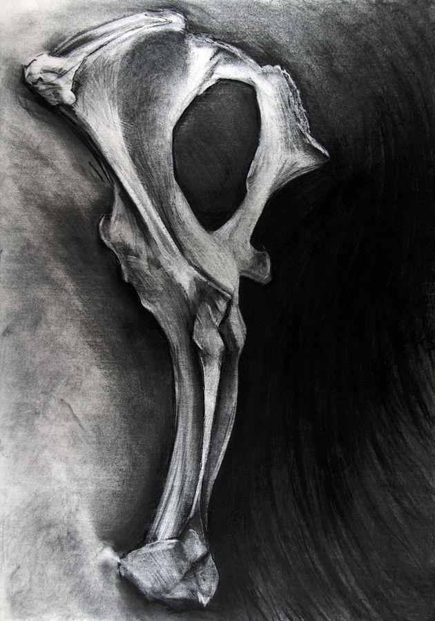 study (bone)   charcoal drawing   kate riley