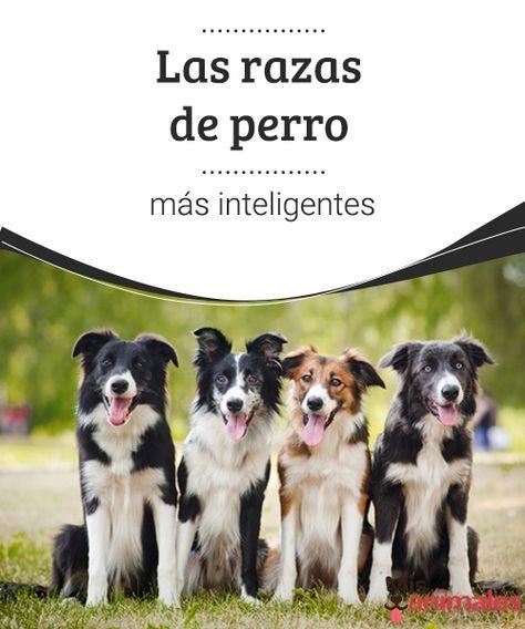 Las razas de perro más inteligentes -Mejor con Mascotas En este artículo averigua cuáles son las razas de perro más inteligentes. ¿Border Collie? ¿Caniche? ¿Cuál otra raza de perro conoces?