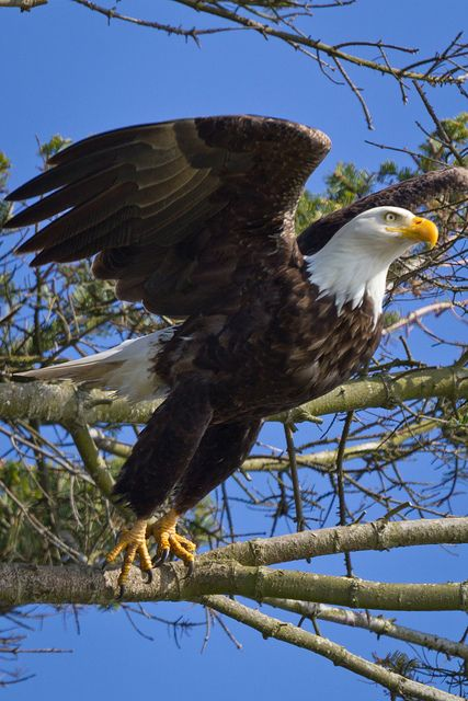 Bald eagle taking off.                                                       …