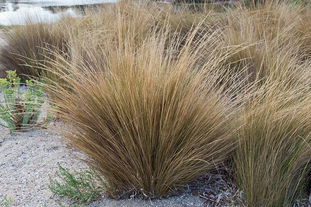 Austrostipa stipoides to entry planters at Hobson St, grass swathes at Hobson Street frontage, Hobson St courtyard and Vincent St rear garden