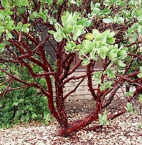 Arctostaphylos manzanita 'Dr. Hurd' (Dr. Hurd Manzanita) - An evergreen shrub to small tree that grows fairly rapidly to 12-15 feet tall and...