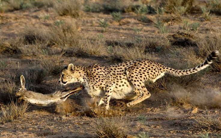 Koushki, a seven-year-old male Asiatic cheetah, hunts a rabbit after it is released by rangers at the Miandasht Wildlife Refuge in Jajarm, northeastern Iran. Iran is conducting a campaign to rescue the Asiatic cheetah which has disappeared across south and central Asia. Fewer than 100 survive in Iran.