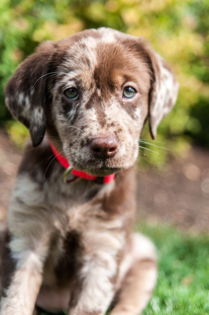 CATAHOULA  MIX? Meet our puppy, Hunter. She's 10 weeks old. We have multiple vets that suggest she is a Catahoula Leopard dog mix rather than a German Shorthair and Labrador Retriever mix. She is one beautiful mistake. Swoon.