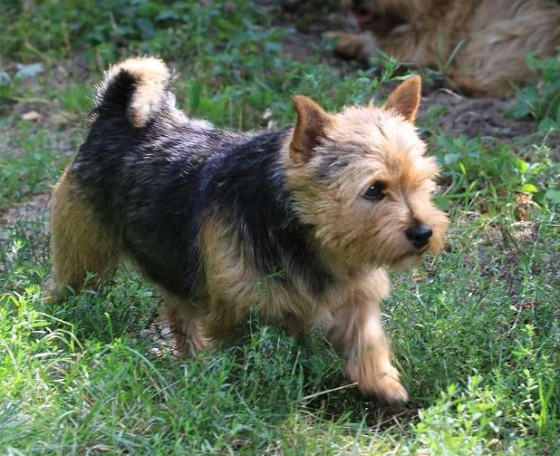 93 best images about Norwich Terriers & Their Names on ...