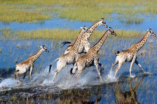 Giraffes in the Okawango Delta, Botswana