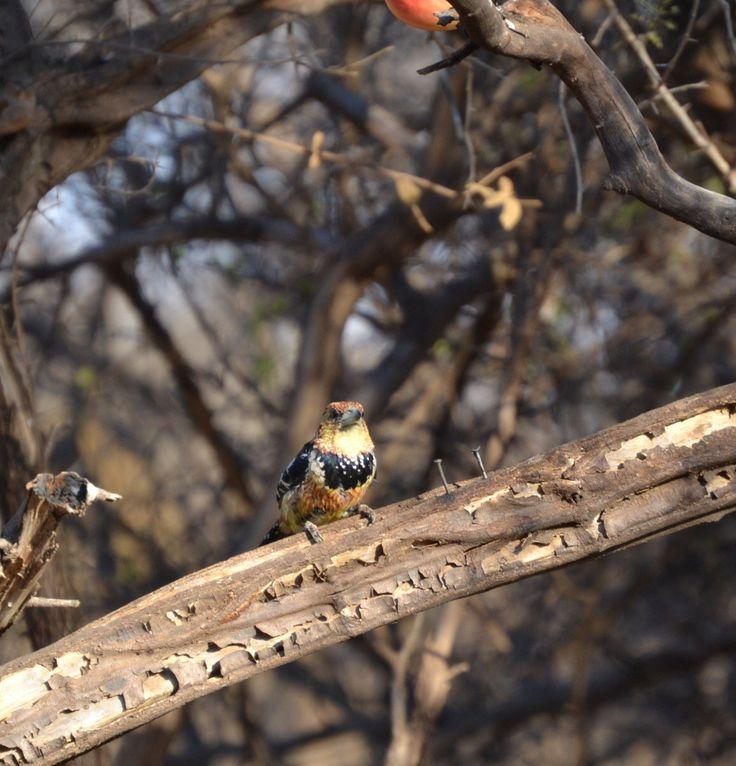 Houtkapper/Crested Barbet at Sondela