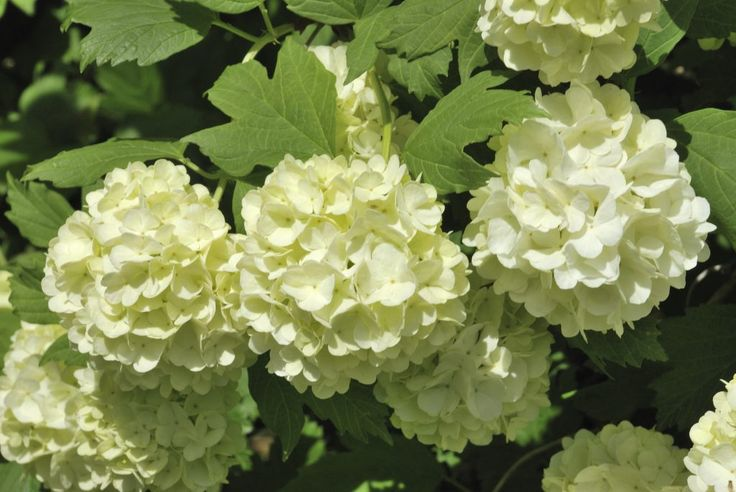 """The problem with using common plant names is that similarlooking plants often wind up with similar names. For instance, """"snowball bush"""" can refer to a viburnum or a hydrangea. Find out the difference between viburnum and hydrangea snowball shrubs in this article."""