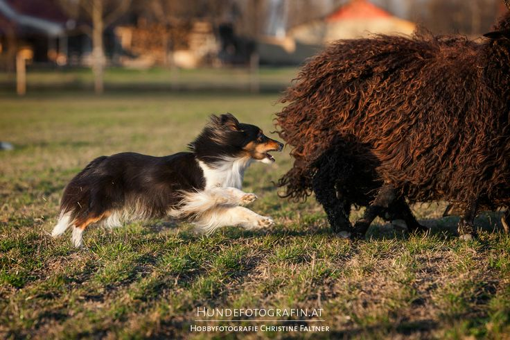 144 Best Breeds Of Dogs That Herd Images On Pinterest