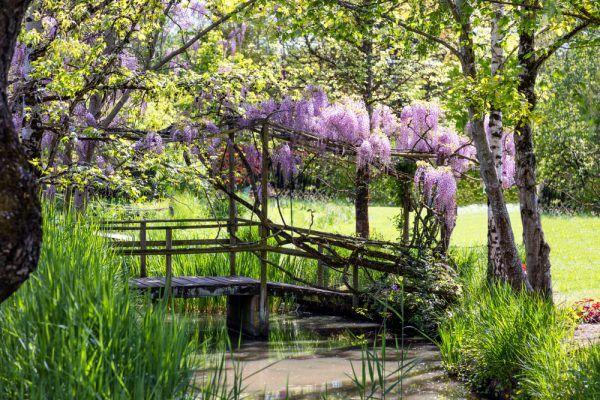 Der schöne Blauregen gehört zu den prächtigsten Blütenpflanzen des Gartens !