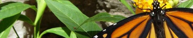 Butterfly FAQ: Is Relocating a Monarch Chrysalis OK? Yes, and Here's Tips On How to Handle Them With Care | texasbutterflyranch