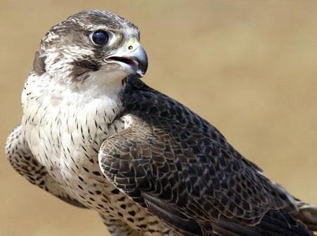 Estupenda iniciativa que ya ha conseguido introducir 32 ejemplares de halcón peregrino con una supervivencia muy superior a la de la naturaleza :)