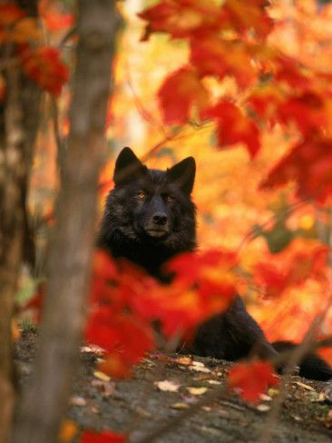 Black Timber Wolf Behind Autumn Foliage Photographic Print by Donald B. Grall. Looks like a grumpy old man!