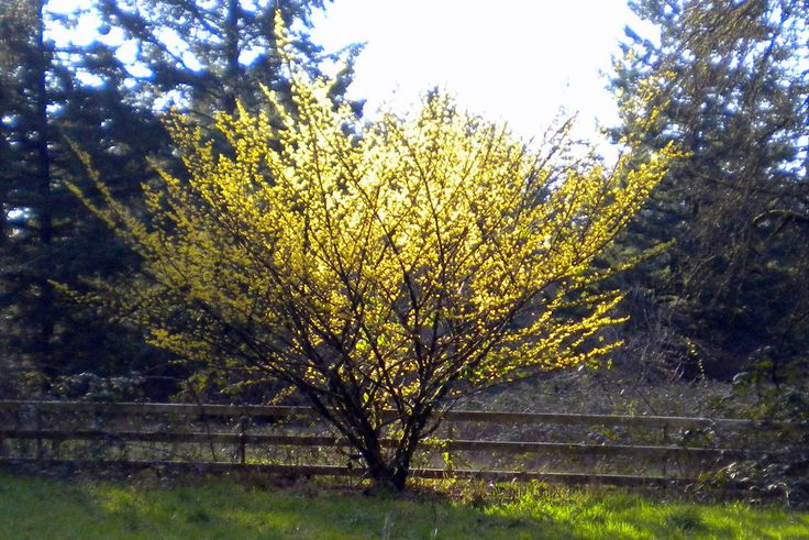 Witch Hazel. Plant on the side of my home around the deck for a nice fall bloom.    witch hazel - Google Search