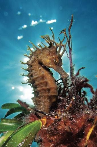 Fave Dive of the Day: A Mediterranean seahorse off Halkidiki, Greece, photographed by Nicholas Samaras!