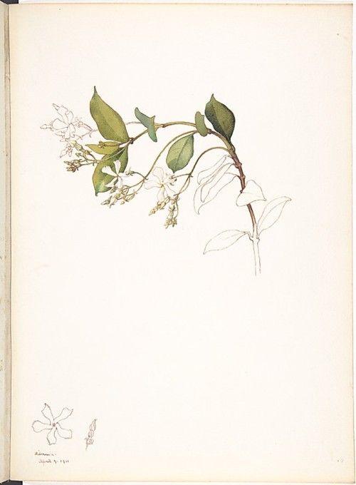 Margaret Neilson Armstrong, White Jasmine, 1911.