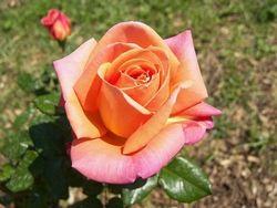#GIARDINAGGIO COLTIVAZIONE DELLE ROSE  Ulteriori informazioni su: Coltivazione rose - giardinaggio - Tecniche di giardinaggio http://www.giardinaggio.it/giardinaggio/tecniche-di-giardinaggio/coltivazione-rose.asp#ixzz3EBJCnylk