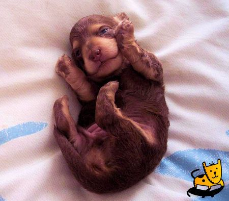 Buster, the Baby Dachshund Puppy: Doggie Doggie, Dachshund Puppies, Doggie Adorable, Dogs Puppies, Baby Animal, Aplacetolovedogscom Dogs, Wiener Dogs, Baby Dachshund, Baby Puppies