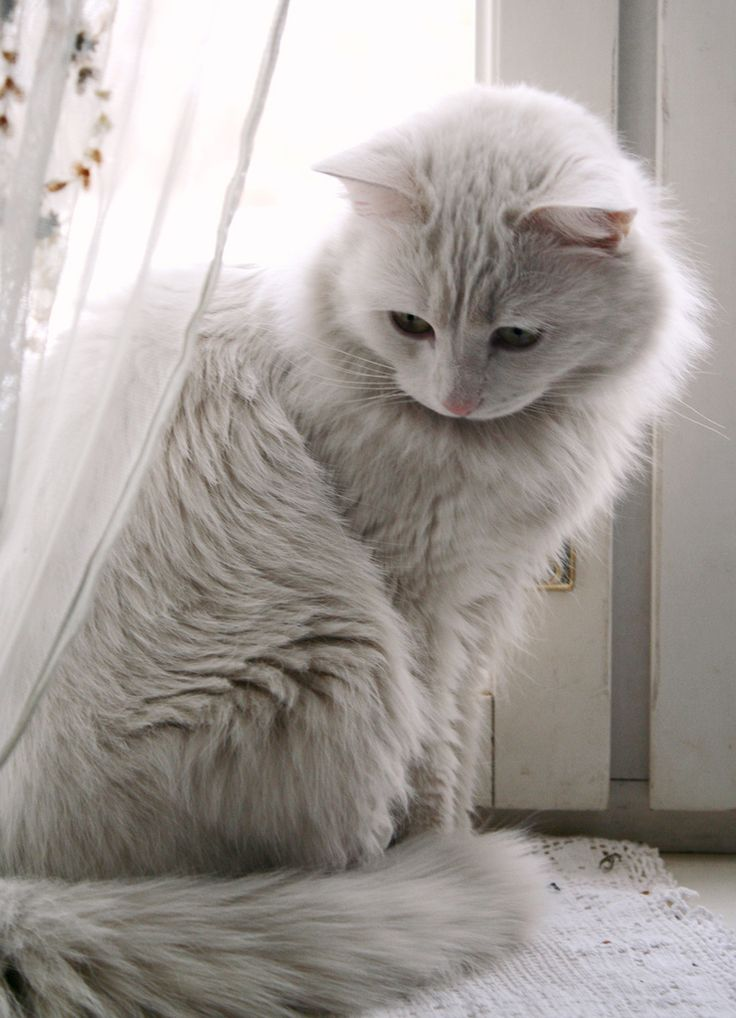 All white Kitty Cat. #cat #cute #cats =^..^= www.zazzle.com/kittyprettygifts