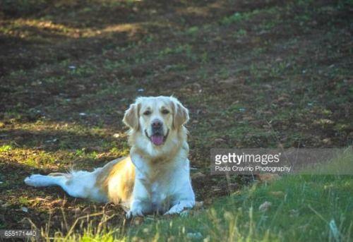 04-08 Purebred female Golden Retriever lying down on…... #lucena: 04-08 Purebred female Golden Retriever lying down on…… #lucena