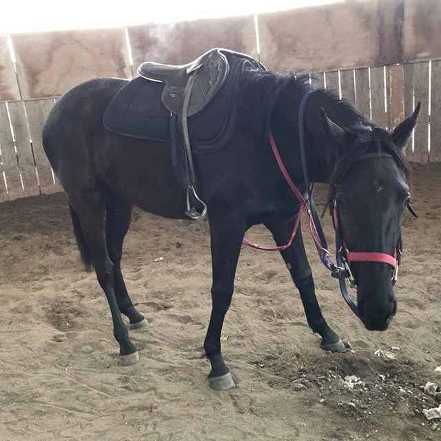 Instagram media by mhgabi_221 - 背中、お尻から湯気出てるのわかりますか?? 疲れましたのクロちゃんです。 #horselove #horsestagram #horses #racehorse #horse #馬 #競走馬