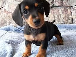 Black and Tan Daschshund Puppy not in the future now now now!