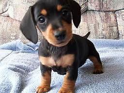 Black and Tan Daschshund Puppy