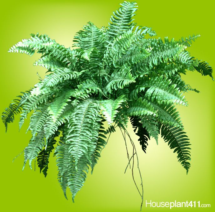 crispy brown fronds especially in center of fern houseplants mean plant is over
