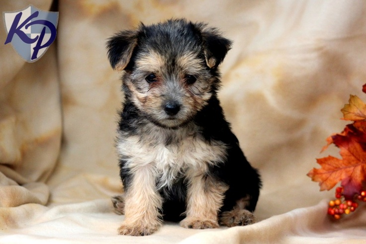 Miles morkie puppies for sale in pa keystone puppies
