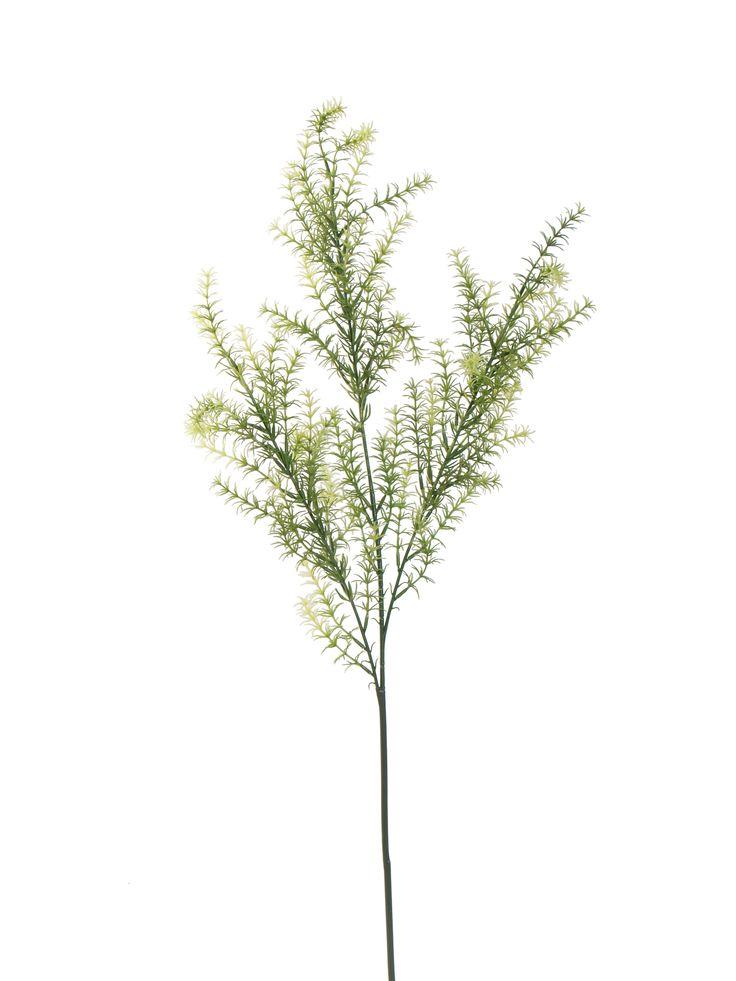 Asparagus FernAsparagus Fern,