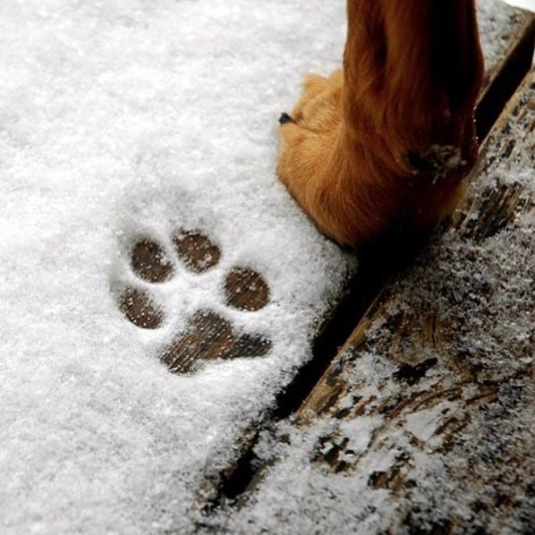 ☃️ We see snow in our future here in Utah. 🐾 It's important that you keep a close eye on those adorable paws during cold and wet months. While winter walks can be crisp and refreshing, cold damp sidewalks and the chemical agents used to defrost our areas is enough to dry out paws, cause discomfort, and lead to cracked, bleeding paws. We offer a pet safe ice melt to keep your furry friends safe!