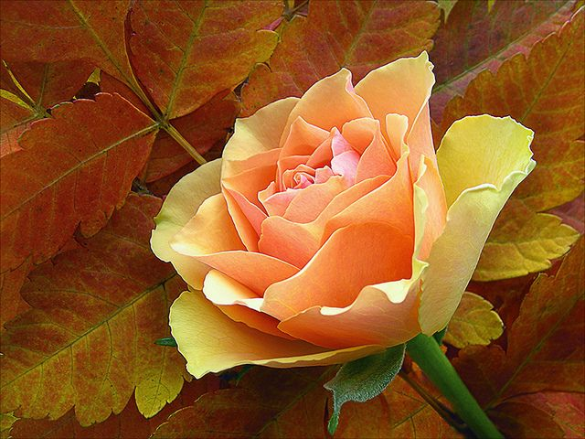 Yellow Rose by Dragan*, via Flickr: Beautiful Flower, Yellow Rose, Autumn Leaves, Rose Flower, Inspiration Photography, Color Rose, Color Pallets, Beautiful Rose, Flower Photography