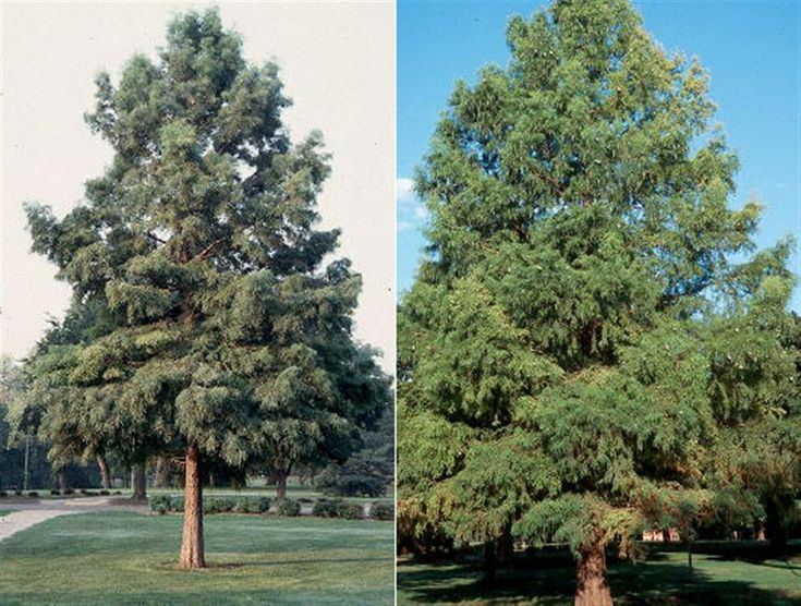 Bald Cypress is a truly unique tree, and has been gaining in popularity in recent years. Voted urban tree of the year in 2007, this trees interesting characteristics make it a truly stand out specimen. Bald Cypress is a deciduous evergreen, meaning it has foliage similar to an evergreen which it sheds in the winter. Bald Cypress has an outstanding coppery fall color, and a soft droopy needle which adds texture to the landscape. This tree is a true gem, but due to its uniqueness it can…