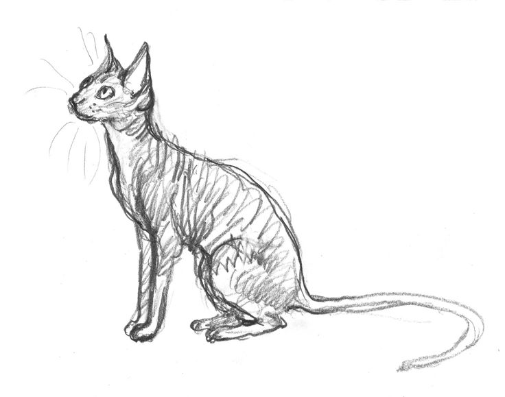 Cornish Rex sketch for page 25. Two pictures still to complete. Can I do it this week? #cornishrex #cat #thunderstormdancing