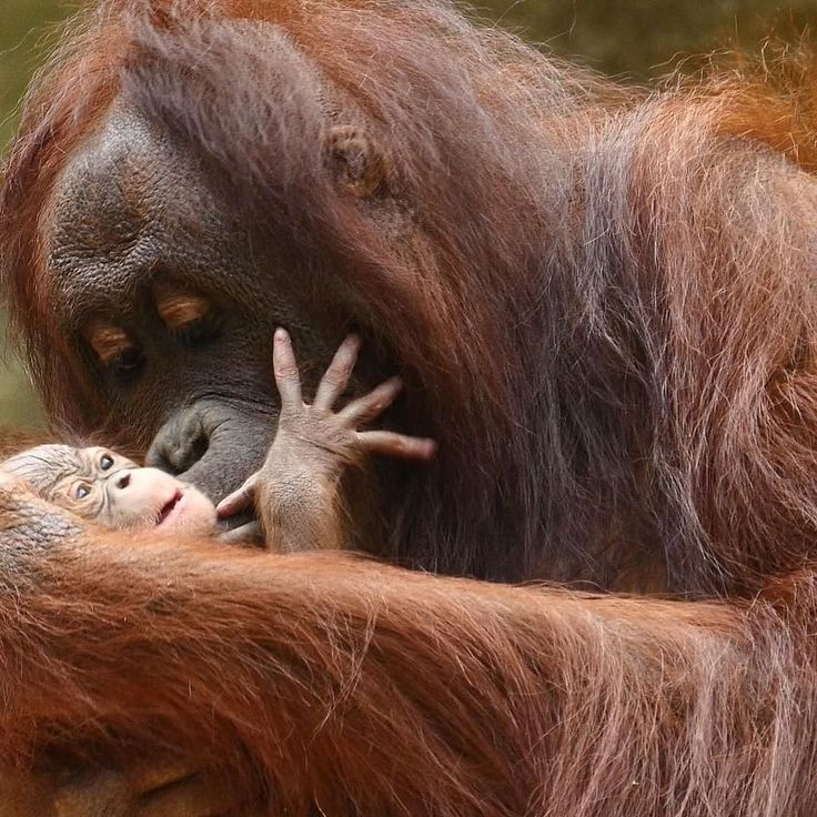 Hsiang Ning Rostock, Orangutan with her baby. Isn't this the sweetest photo!