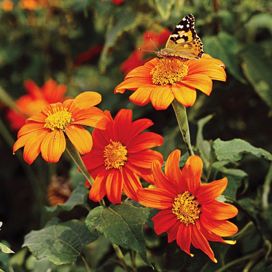 Mexican Sunflower, full sun, annual, plant with South American verbena to compliment each other, attracts butterflies.